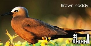 Denis Island in the Seychelles intensifies its drive to bring back the Brown Noddy Birds