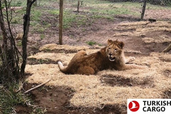 Turkish Cargo brings circus lions back to their natural habitat